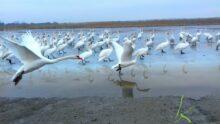 Let labudova na Jegrickoj