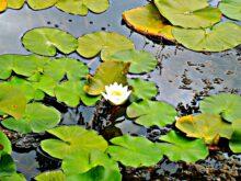 Cvet lokvanja