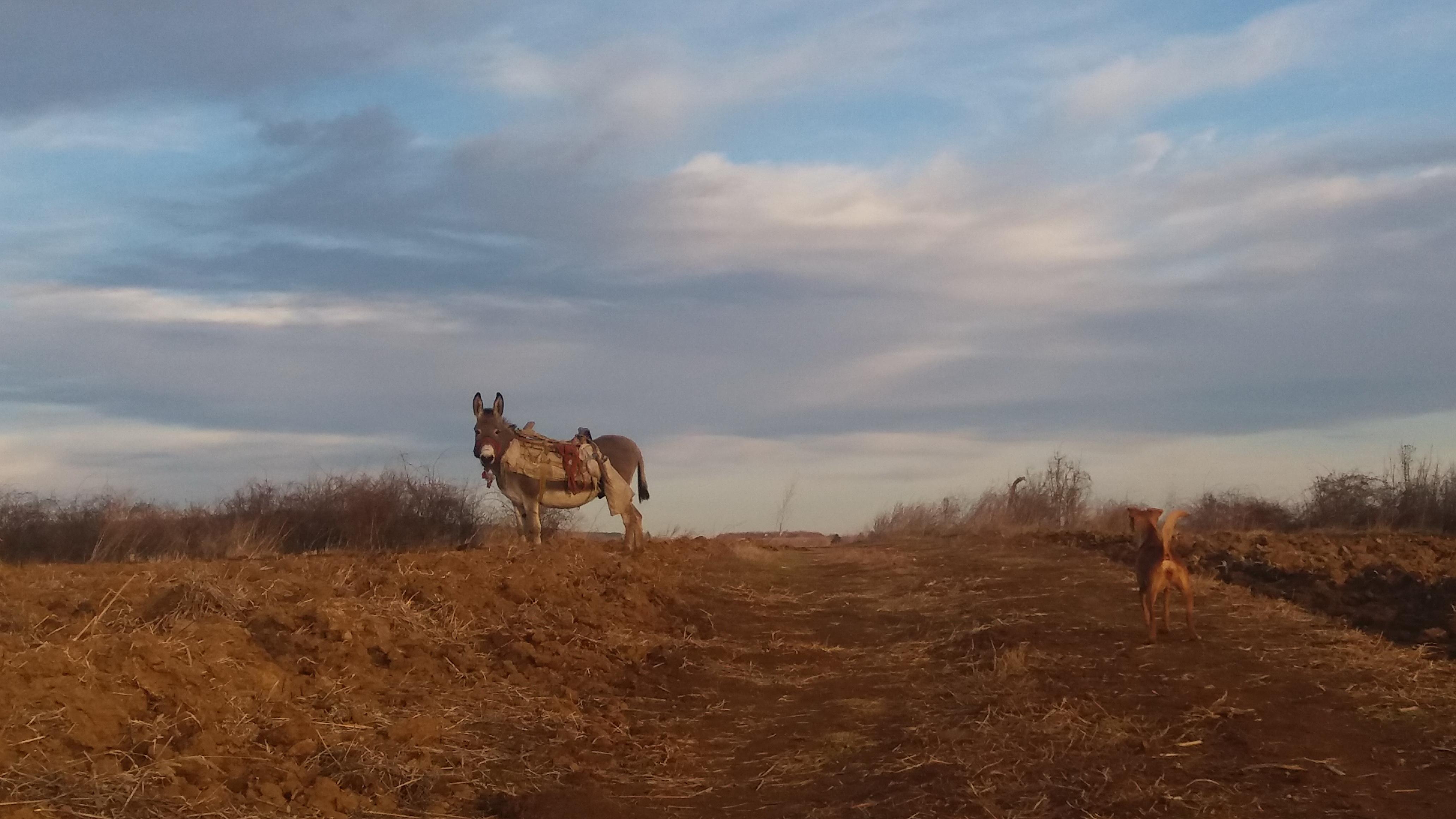 Zalutalo magare u poljima Srema