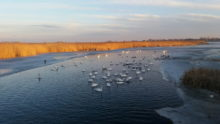 Labudovi i Jegricka okovana ledom zima 2017